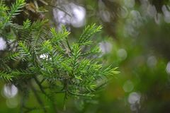 Pine Tree Leaves Stock Images