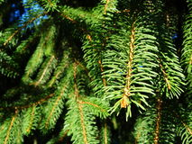 Pine tree leaves. Pine tree green foliage close up Royalty Free Stock Image