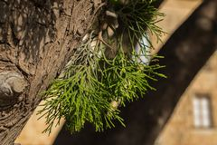 Pine tree leaves macro shot royalty free stock photography