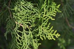 Pine tree Royalty Free Stock Photos