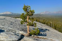 Pine tree on lembert dome, yosemite Royalty Free Stock Photo
