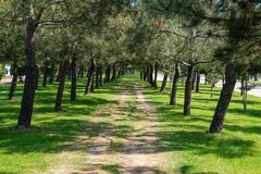 Pine tree lined avenue. Pine tree green lined avenue stock image