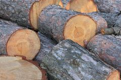 Pine tree logs Stock Images