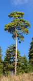 Pine tree. Lone pine tree in the middle with blue sky in the background and pine trees Royalty Free Stock Images