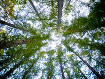 Pine tree. Looking Up In Pine Forest Tree Royalty Free Stock Photo