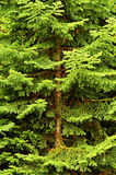 Pine Tree Lush Green Forest Stock Images
