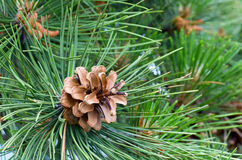 Pine tree (macro) Royalty Free Stock Photo