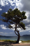 Pine tree on Majorca. A view of a lone pine tree along the road next to the shore of the Spanish island of Majorca Royalty Free Stock Image