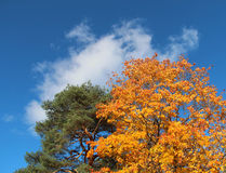 Pine tree and maple tree in the autumn Stock Photos
