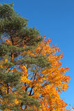 Pine tree and maple tree in the autumn Royalty Free Stock Photos