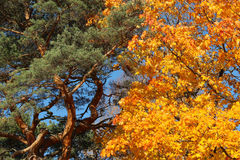 Pine tree and maple tree in the autumn Stock Image