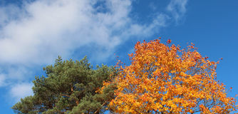 Pine tree and maple tree in autumn Stock Photos