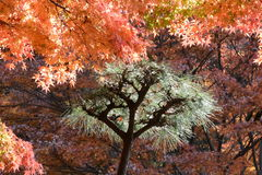Pine tree and Maple trees. Green pine tree and Autumn maples royalty free stock photography