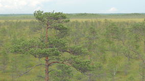 Pine tree in marshland on a windy day. Isolated pine tree in marshland on a windy day stock footage