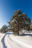 Pine tree in the meadow in the winter forest. Bright sunny morning Stock Photo