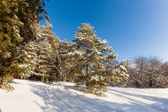 Pine tree in the meadow in the winter forest. Bright sunny morning Royalty Free Stock Photos