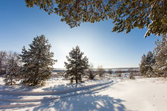 Pine tree in the meadow in the winter forest. Bright sunny morning Royalty Free Stock Image