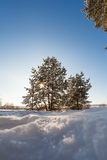 Pine tree in the meadow in the winter forest. Bright sunny morning Stock Image