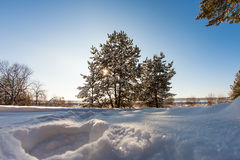 Pine tree in the meadow in the winter forest. Bright sunny morning Stock Photos