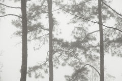 Pine tree in the mist Stock Photography