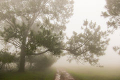 Pine tree in the mist Stock Photos