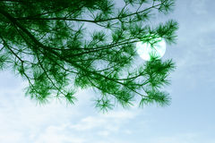Pine Tree and moon. Pine branches on blue sky and moon Stock Image