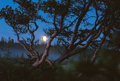 Pine tree in moonlight Royalty Free Stock Image