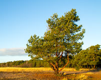 Pine tree in the morning light Stock Photography
