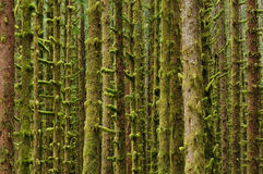 Pine tree with moss Royalty Free Stock Image
