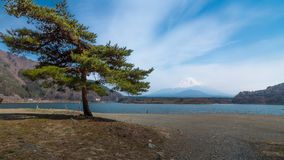 A pine tree with Motosu lake and Mount Fuji in background under blue sky royalty free stock images