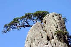 Pine tree in mountain Royalty Free Stock Photo