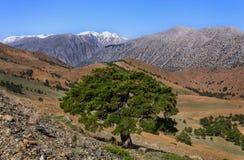 Pine tree on mountain Royalty Free Stock Photos