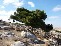 Pine tree on mountain side Royalty Free Stock Image