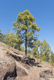 Pine tree on a mountain slope Stock Photo