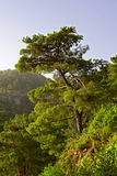 Pine tree on the mountain Royalty Free Stock Image