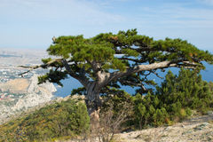 Pine tree in mountains Royalty Free Stock Photo
