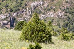 Pine tree in the mountains Stock Image
