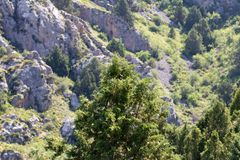 Pine tree in the mountains Royalty Free Stock Image