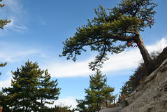 Pine tree  in the mountains Stock Photography