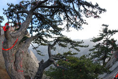 Pine tree  in the mountains Stock Photo