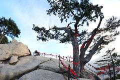 Pine tree  in the mountains Stock Images