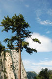 Pine tree in the mountains. Stock Images