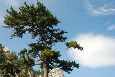 Pine tree in the mountains Royalty Free Stock Images