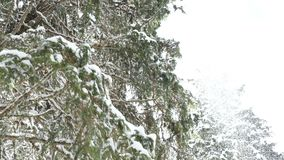 Pine tree in the mountains in winter. Covered with snow. Slow motion stock video footage