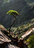 Pine tree on mountainside. Scenic view of leafy green tree on mountainside stock image