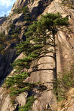 Pine tree on mountainside Royalty Free Stock Photos