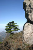 Pine tree on mountainside. Scenic view of pine tree on mountainside with blue sky background Royalty Free Stock Photography