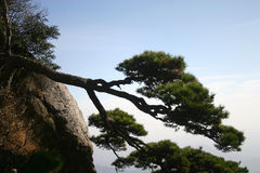 Pine tree on mountainside. Scenic view of pine tree growing on mountainside with sky background Royalty Free Stock Images