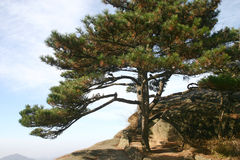 Pine tree on mountainside Royalty Free Stock Photo