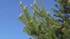 Pine tree moving in wind against a blue sky stock video footage
